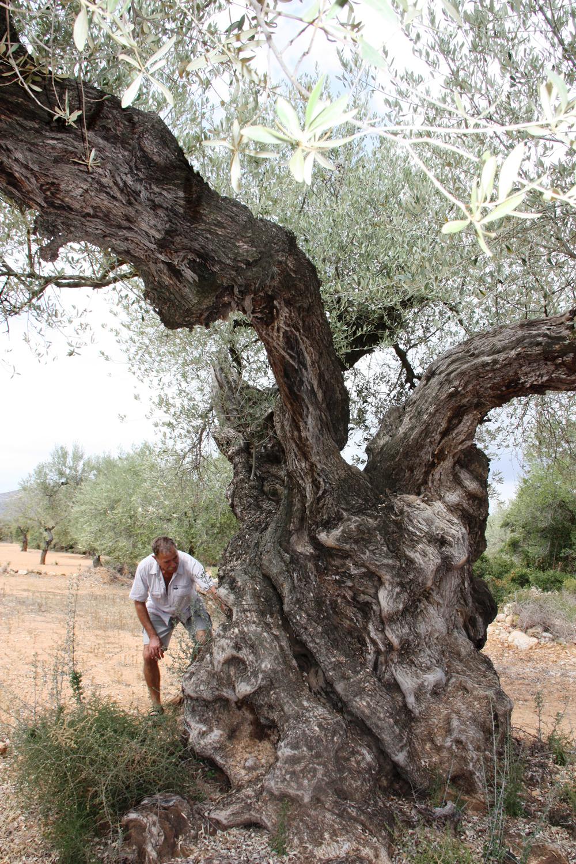 Pablo Pepió examinando un olivo.